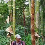 Bambus Schößling bereits mit 10 cm Durchmesser