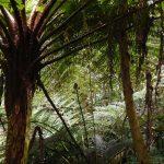 Baumfarn, Kiefern, Eukalyptus, wunderschöner Mischwald