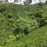 Kaffee-Felder - die Bananen dazwischen sollen Schatten spenden