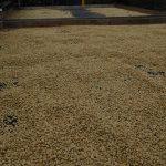Kaffeebohnen zum Trocknen ausgebreitet