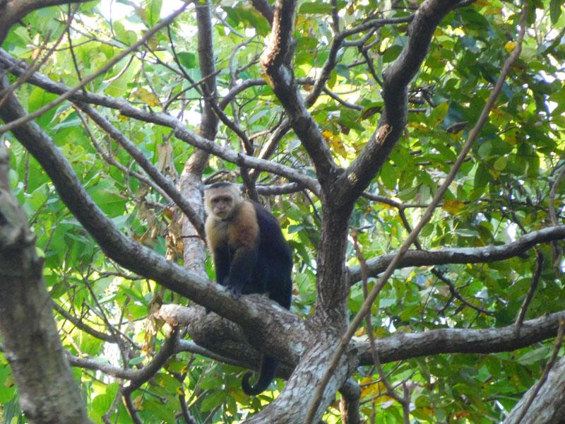 Kapuziner-Affen werfen schon mal mit Früchten nach Menschen