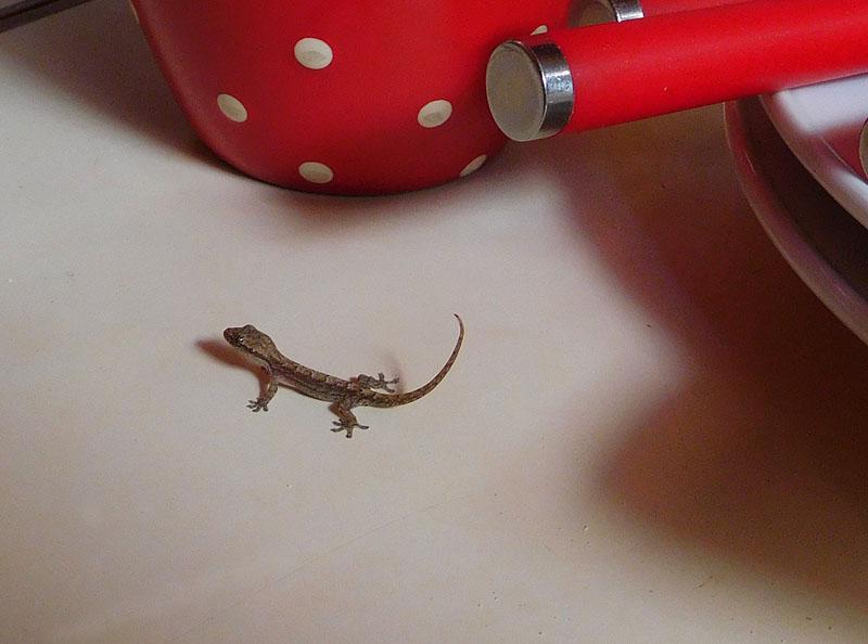 Gecko Gonzo