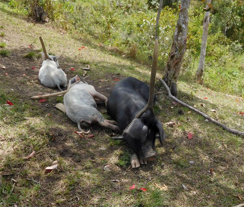 Schweine werden etwas fies am weglaufen gehindert