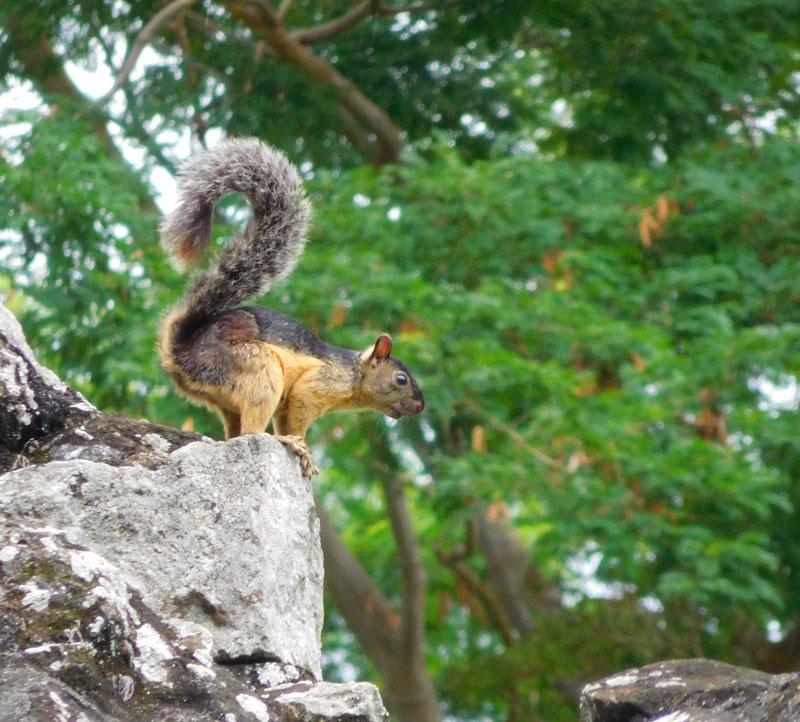 Ein Eichhörnchen auf der Flucht vor den Katzen zwischen den Ruinen