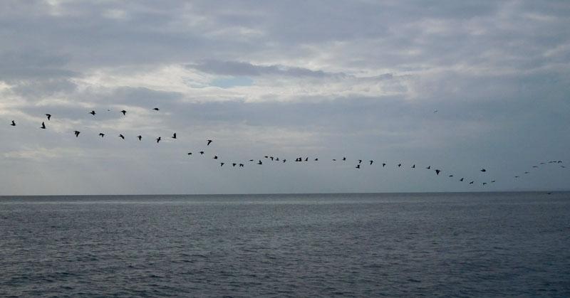 Endlose Pelikan-Schlangen ziehen in den Norden