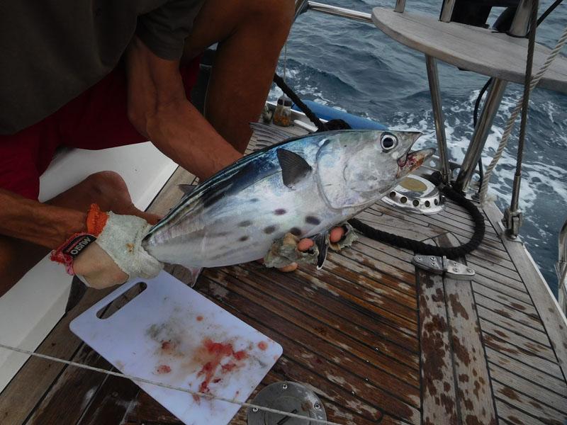 Thunfisch - oder Bonito - wer weiß es