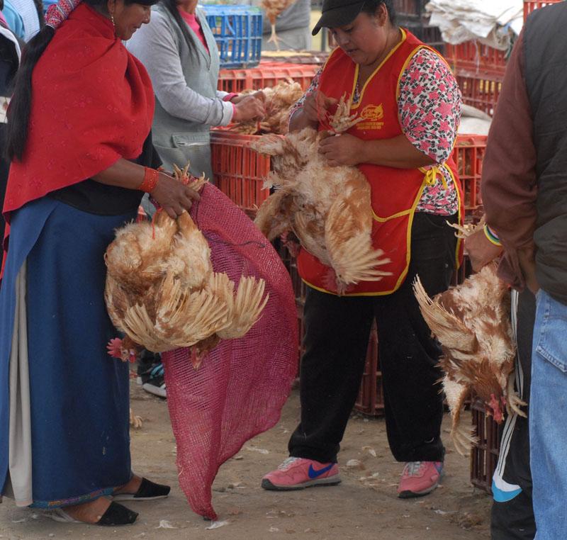 Den Hühnern geht's an den Kragen