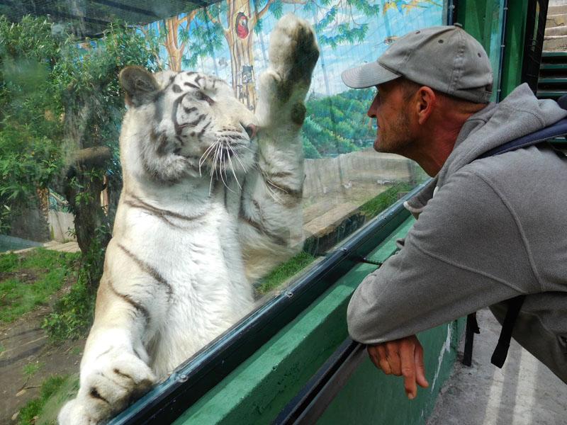 Give me five - als der tiger das das erste mal gemacht hat, waren Achims Augen so groß wie die Pfoten