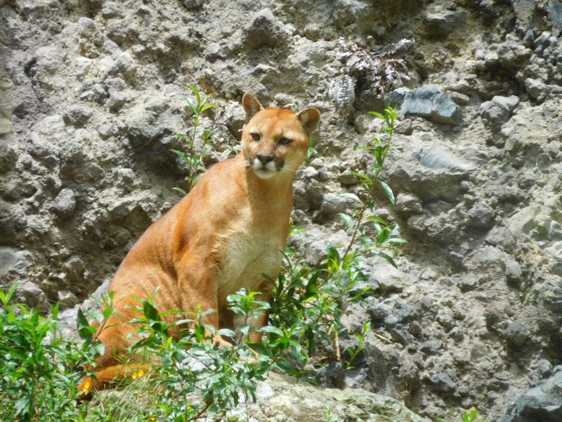 Kräftige Mietze so ein Puma