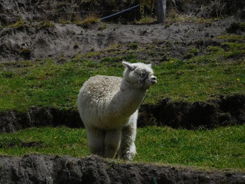 Unser erstes Lama