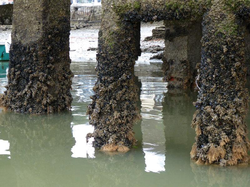 Muschelbewuchs an den Pfählen der Marina - nach zwei Monaten