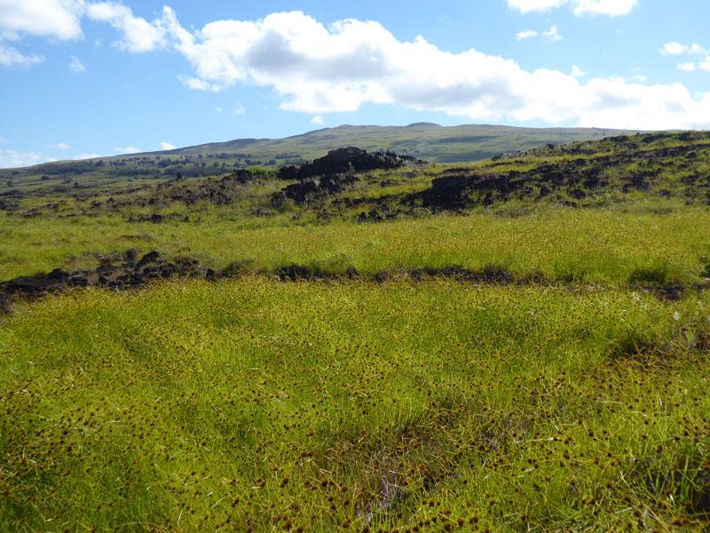 Baumloses Rapa Nui mit Binsen in voller Blüte