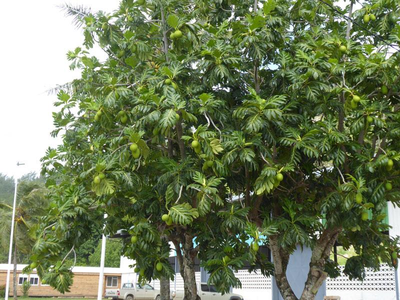 Der Brotfruchtbaum